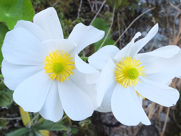 Mount Cook Lily.