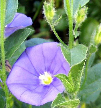 The flower colour is a delicate lilac blue.