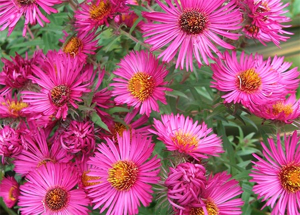 asters, Beautiful flower