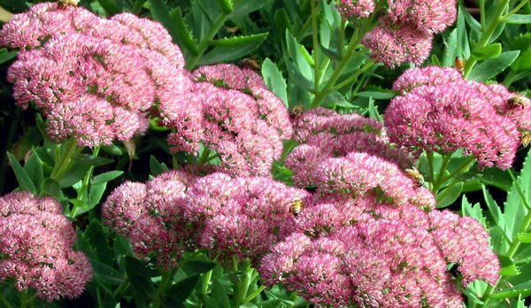 http://www.mooseyscountrygarden.com/perennial-plants/sedum-autumn-joy.jpg