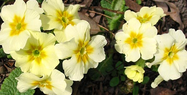 yellow-polyanthus Pale Pink And Green House Plant on quill plant, how do plant, coleus plant, pink and green leaf plant, polka dot plant, pink lemon plant, colia plant, tickleme plant, pink bromeliad plant, trailing succulents houses plant, pink and green indoor plant, purple and green variegated plant, pink aglaonema plant, long red leaf plant, pink grass plant, pink spotted house plant, name of pink house plant, pink green leaf indoor plant, touch me not plant, pink elephant ear plants,
