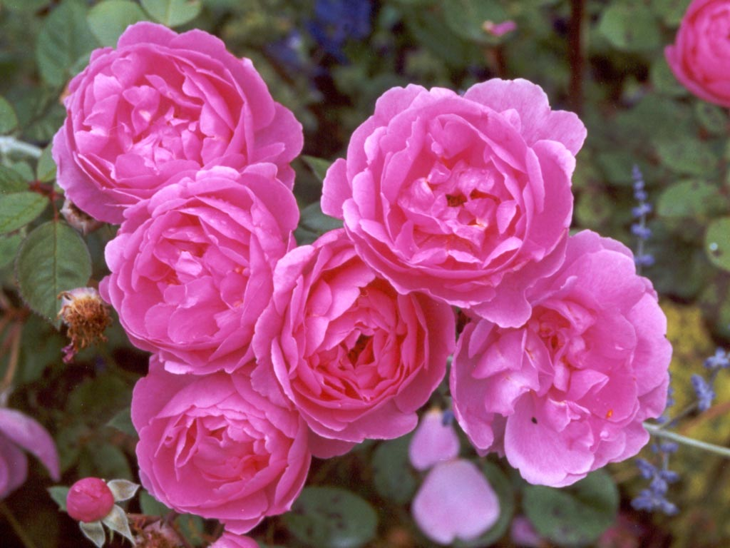 http://www.mooseyscountrygarden.com/pink-rose-pictures/david-austin-pink-rose.jpg