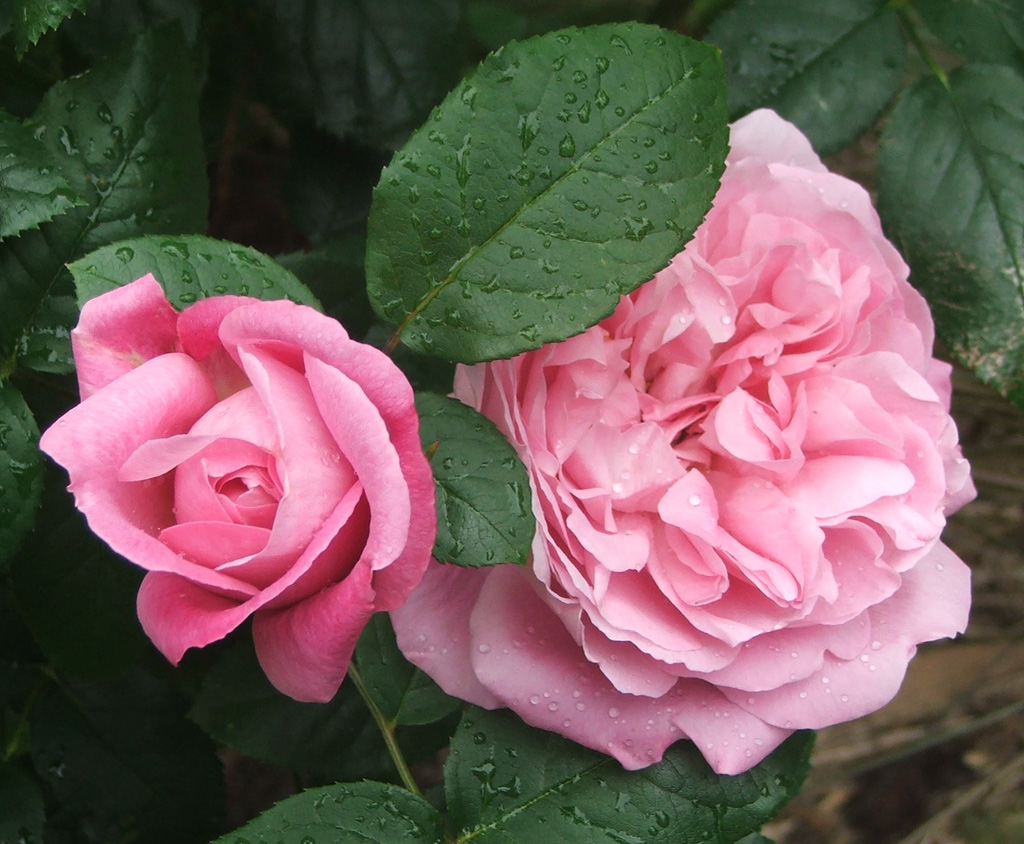 Pink roses are very popular in the moosey garden this is another of