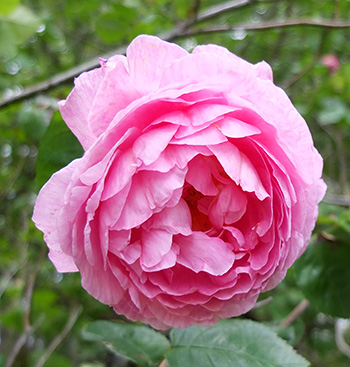 A once flowering David Austin rose - large and messy.
