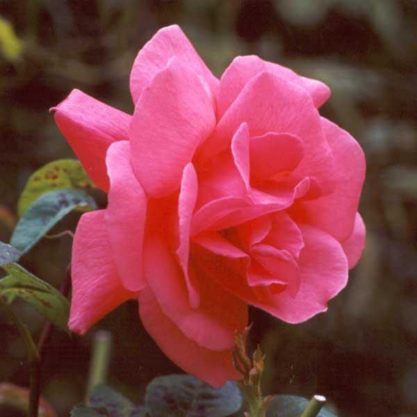 http://www.mooseyscountrygarden.com/rose-garden/another-unknown-pink-rose.jpg