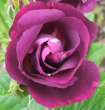 Rhapsody in blue rose
