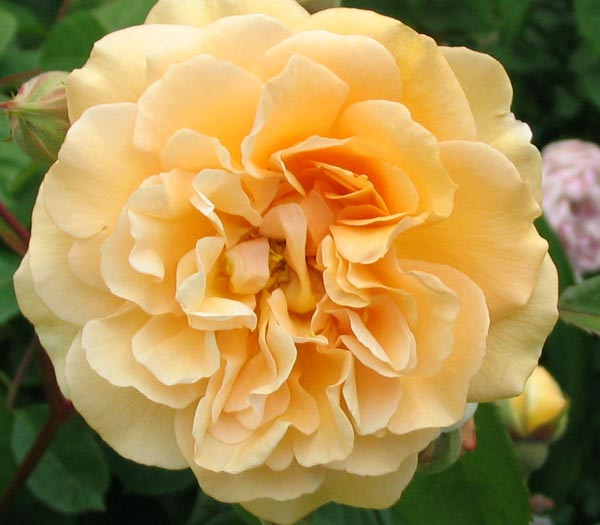 http://www.mooseyscountrygarden.com/rose-garden/buff-beauty-closeup-rose.jpg