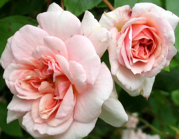 http://www.mooseyscountrygarden.com/rose-garden/cecil-brunner-flower-rose.jpg