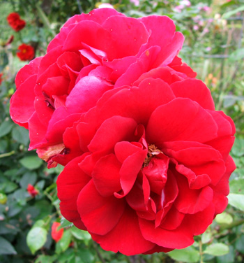 A beautiful red climbing rose.