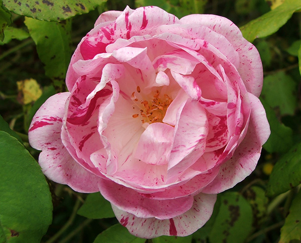 The most famous striped rose.