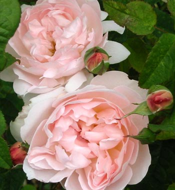 The David Austin rose Sharifa Asma