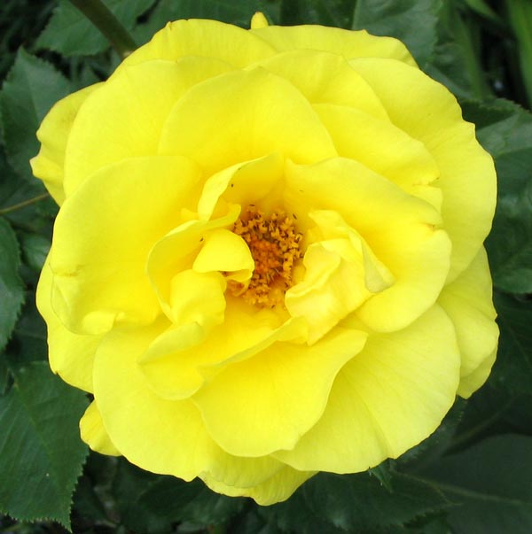 This is a standard rose.