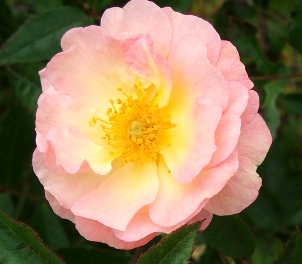 http://www.mooseyscountrygarden.com/rose-garden/ghislaine-flower-rose.jpg