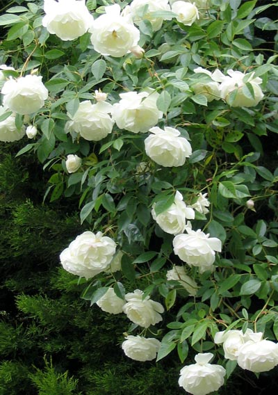 Gardenwright 100 square foot italian villa garden for Rosa iceberg