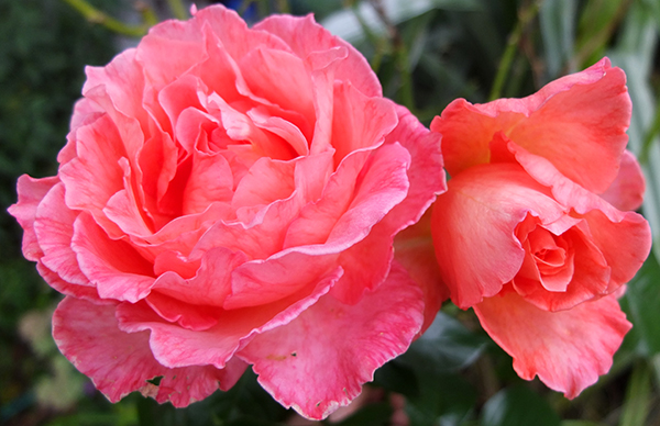 Photograph taken after rain, so the petals are a bit water-marked.