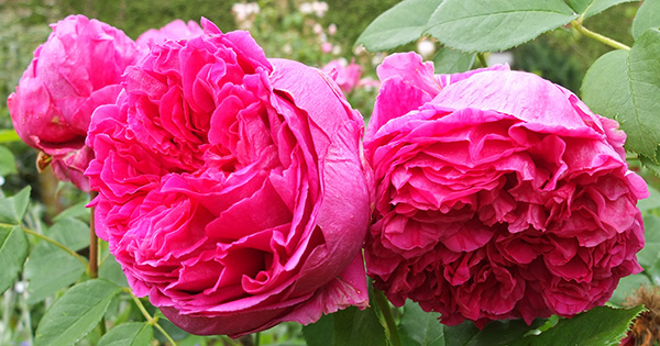 Very heavy petalled roses, which can droop in the rain.