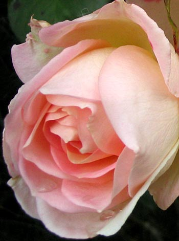 This rose has many different colours, depending on the time of the year.