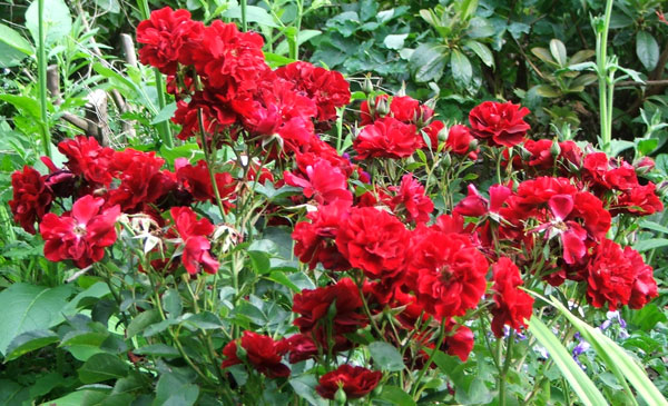 red rose flower garden. Opulence Rose