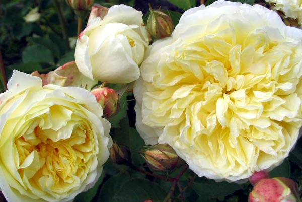 A soft lemon coloured rose.