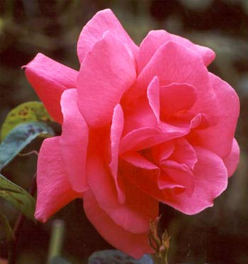  Unknown pink rose 