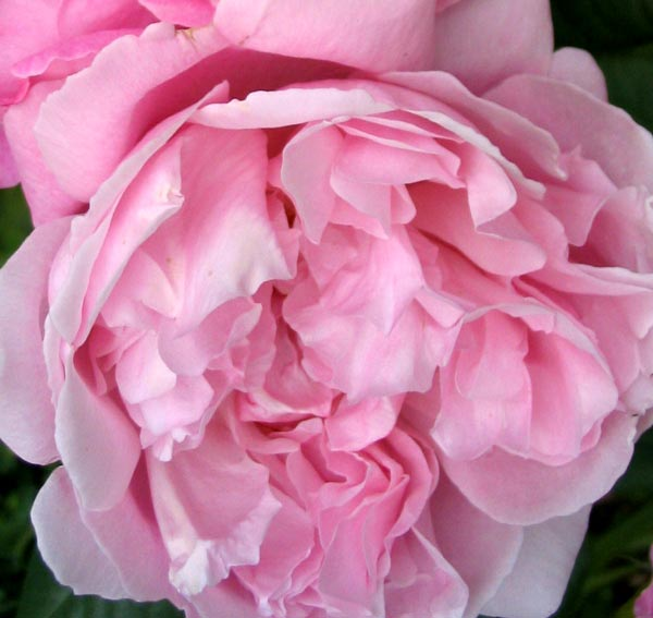 A beautiful soft pink David Austin English rose.