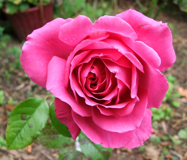 A rather beautiful rose, flowering late in the season.