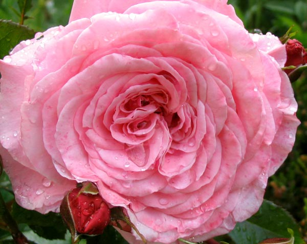 A Sam McGredy rose.