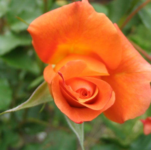Westerland is a small climbing rose.