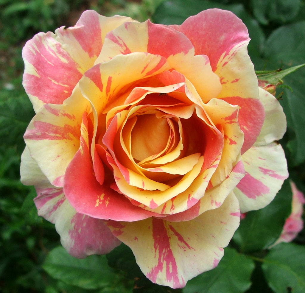 rose picture gallery