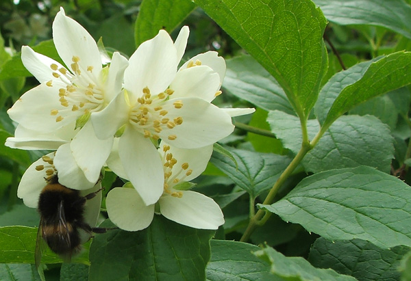 Philadelphus - which I do trim when I remember!