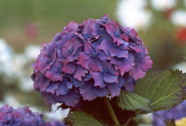 hydrangea flower, Beautiful flower