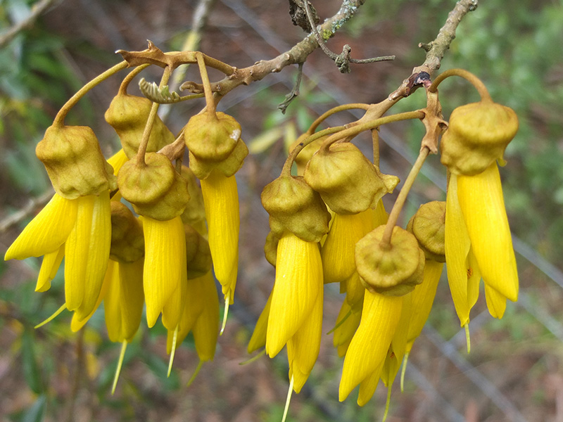 Flowering Kowhai Tree