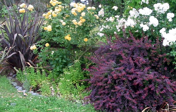 Berberis for Low maintenance border shrubs