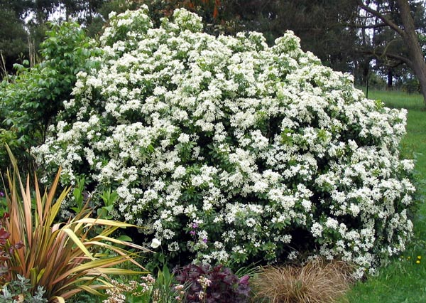 A beautiful shrub for the late spring garden.