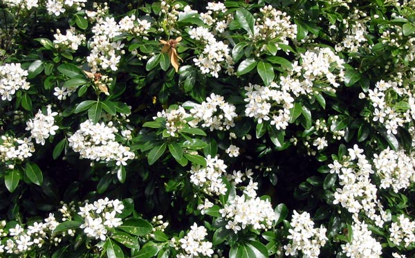 Choisya ternata for White flowering bush