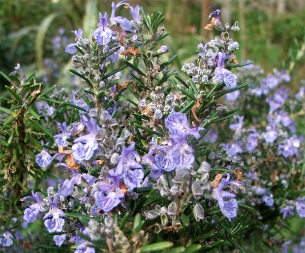 A lovely shrub, easy to grow in my garden.