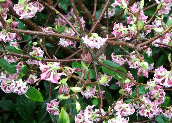 The very nicest of early spring shrubs.
