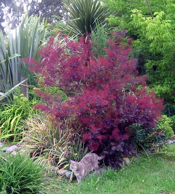 smoke-bush-border.jpg
