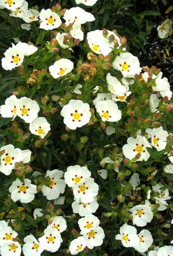 White cistus rock rose for White flowering bush