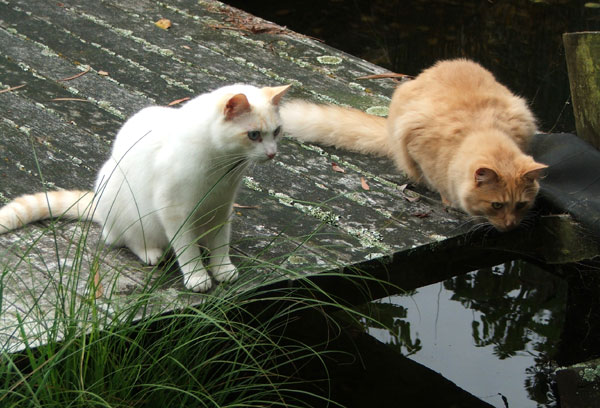 Two cats on the pond decking.