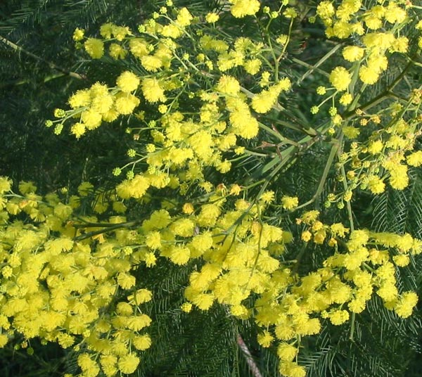 Wattle Trees Flowers And Seed Pods